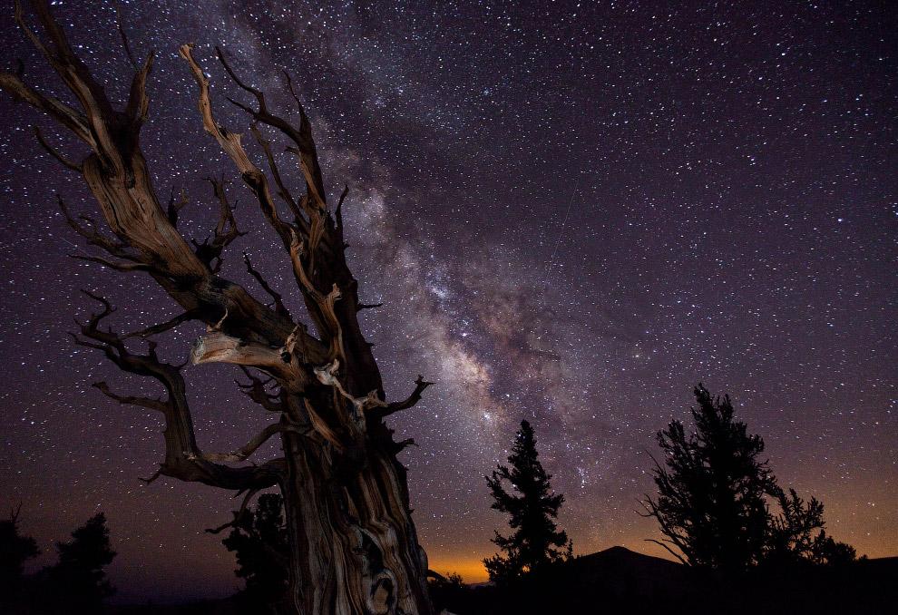Сосна в Белых горах Калифорнии